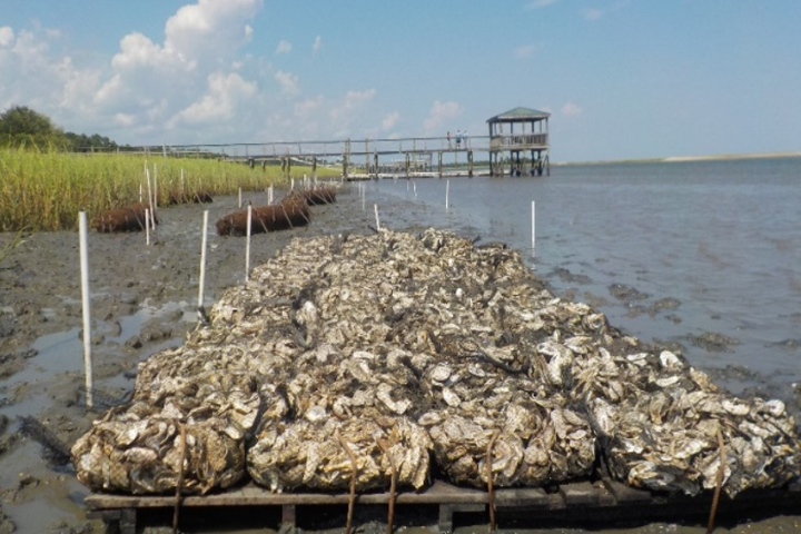 There are many different living shoreline techniques, such as oyster shells (shown here), plantings, or logs and rocks that reduce erosion and allow marsh grasses to flourish.