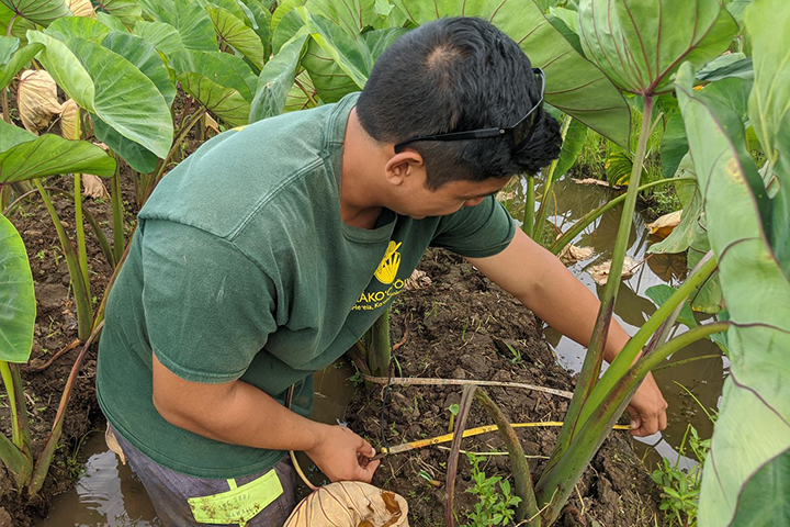 Harvesting and sharing local foods are one way cultural ecosystem services manifest in both Heʻeia and Kachemak Bay. Photo credit: F. Reppun
