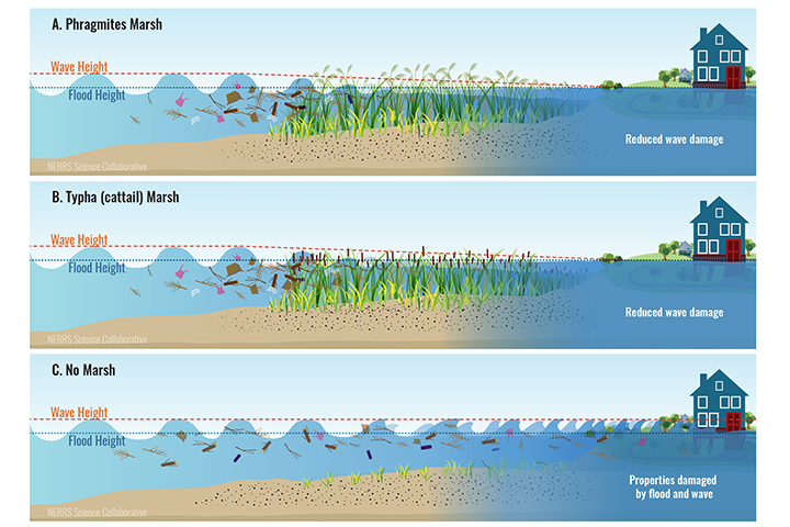 The project found that, in a storm like Sandy, Phragmites and cattail would dampen the height and impact of waves to a similar extent, but would not reduce the height of flood waters.