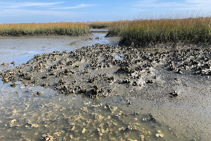 Oyster beds often form along the edge of a marsh where they protect the marsh from erosion and also filter the water. (Credit: Christine Angelini)