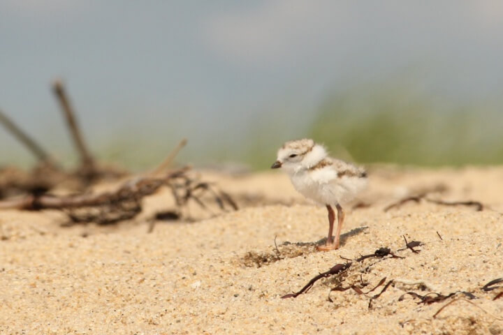 Piping plover at Waquoit Bay NERR