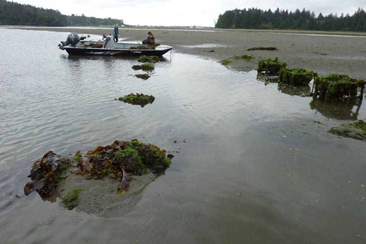 Pyramid bags of Olympia oysters buried by sediment at Younker Point, OR. Photo credit: South Slough National Estuarine Research Reserve