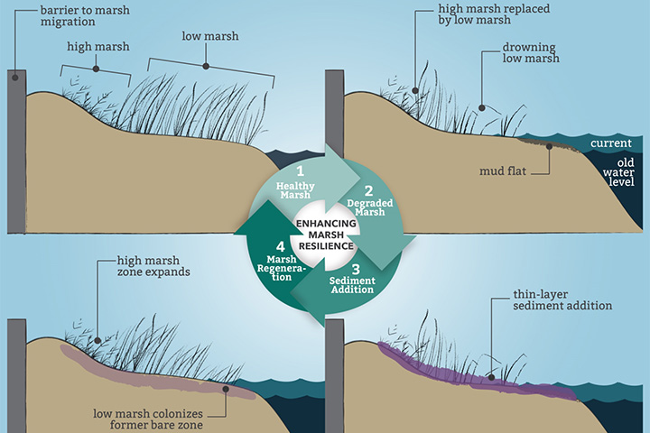 TLP adds a small amount of sediment on top of marsh in order to maintain elevation relative to sea level rise