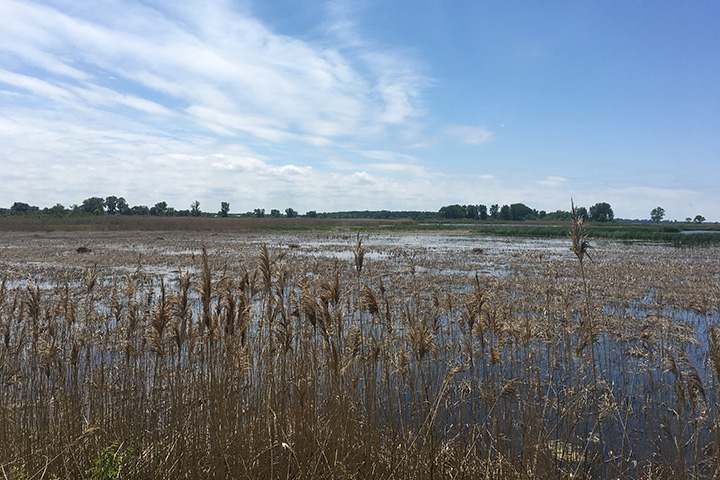 Wetland restoration can be a critical management tool to reduce nutrient loading to Lake Erie.