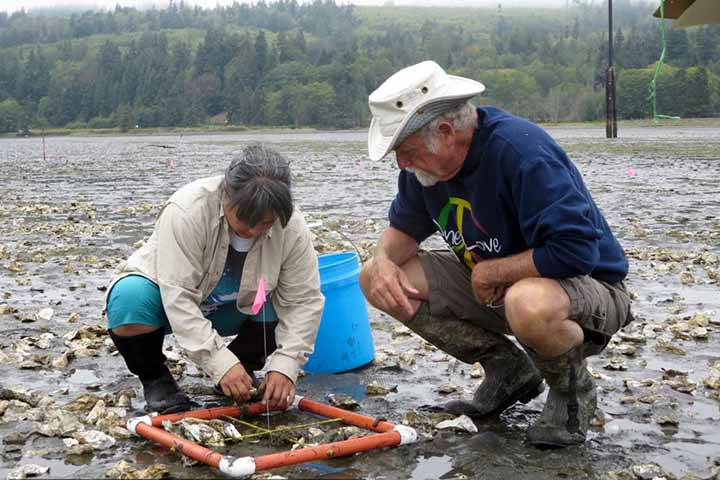 Volunteers monitor oyster transects, Discovery Bay, WA. Photo credit: Cheryl Lowe