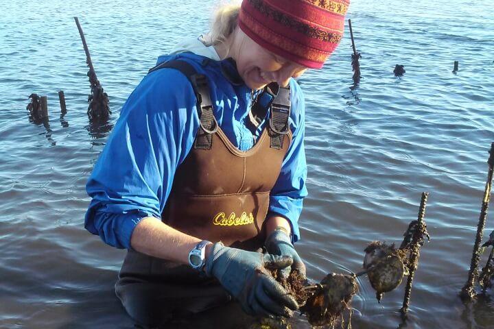 Monitoring native oyster restoration. Photo credit: Kerstin Wasson