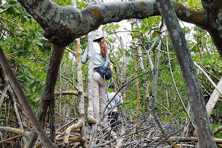 The team will survey healthy and degraded mangrove wetlands. (Photo credit: Ernesto Olivares)