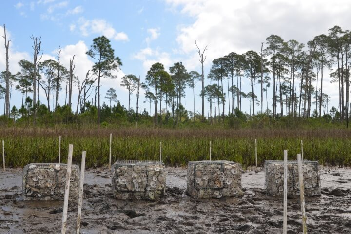 Their data show the effectiveness of this living shoreline design and oyster growth equivalent to naturally-occurring reef