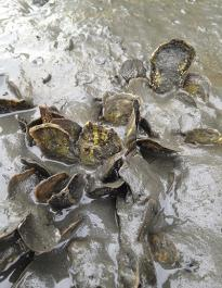 Muddy Oysters in Alamitos Bay (photo credit: danielle zacherl)