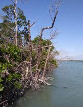 Defoliated red mangrove, site visit, 2019